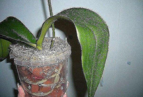 Простая и пошаговая инструкция по пересадке фаленопсиса ( орхидея) — Мир Растений