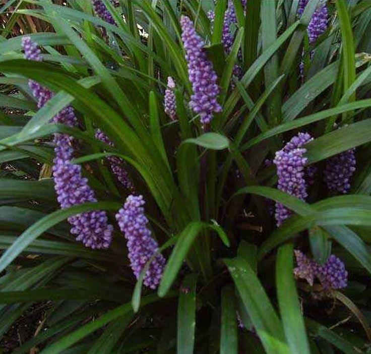Buy Liriope muscari Big Blue (Big Blue Lily-turf) online from Jacksons Nurseries.
