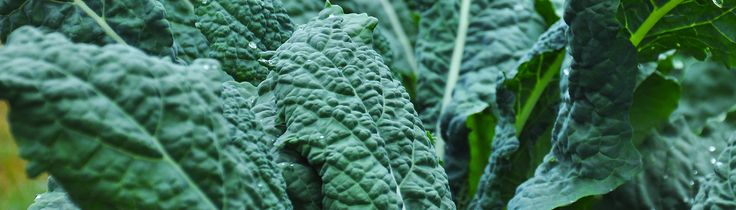(by Barbara Wills) This is an adaptation that can be used for any cole crop leaves that you like. The acid is a delightful foil for the crunchy kale leaves. 10 large kale leaves, rib removed half or more of a pomegranate, seeded 2 Satsuma mandarins or other small citrus, peeled and sectioned Plum Wine …
