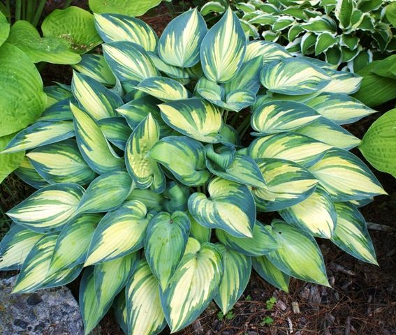"""Hosta 'June' - in sun - Medium Height 15"""", Spread 20-35"""". Part Sun-Full Shade (25-90%). Unlined, wide, streaked, blue-green margins & chartreuse centers in spring. Margins streak to the midrib & are lighter green where overlapping the leaf's center. Leaf center becomes medium-light gold with sun exposure, & bright light will bleach it to creamy-white. Centers remain chartreuse in full shade. Pale lavender, tubular flowers mid-late summer on 20"""" Scapes. Moderate growth rate. Slug resistant."""