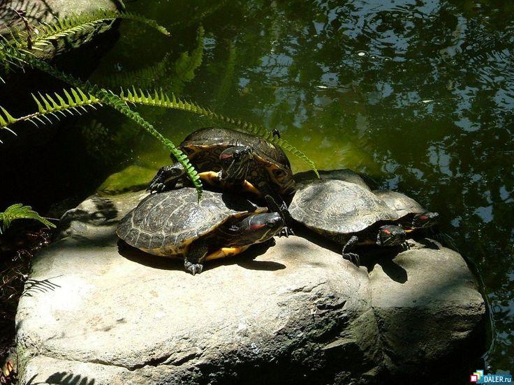 Żółwie - Obrazki na pulpit komputera: http://wallpapic.pl/zwierzeta/zolwie/wallpaper-32904