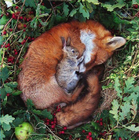 The fox and the rabbit. Adorable.  Although in real life, the rabbit is probably dead and the fox is just protecting dinner...