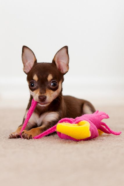 Piper the Chihuahua puppy - AH!! looks like my CoCo when she was a baby