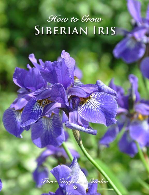 Three Dogs In A Garden How To Grow Siberian Iris Iris Garden Fall Bulb Planting Planting Bulbs