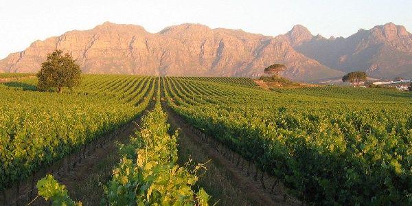 The vineyards at Kleine Zalze wine estate and hotel in the Stellenbosch area