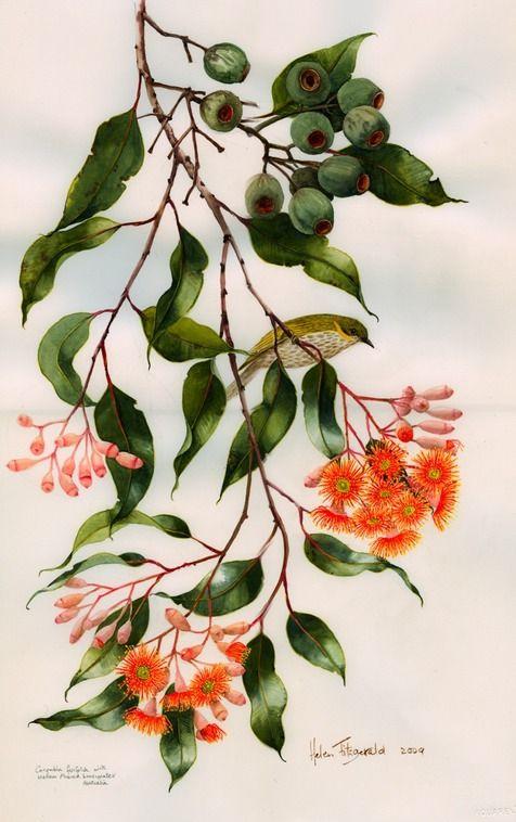 E ficifolia 1058 by Helen Fitzgerald
