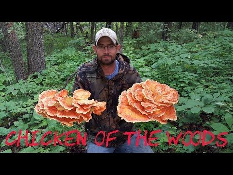 Foraging #6 - Puffballs, Hen of the Woods, Chicken of the Woods, and Oyster Mushrooms - YouTube