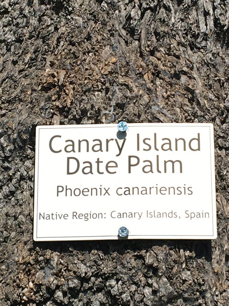 Canary Island Date Palm trees  Sacramento, CA Capital