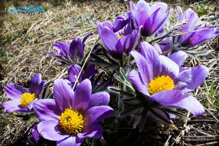 Pasqueflower   by Altansukh