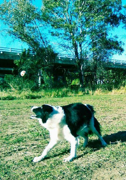 "PADDY.........""THAT BALL IS MINE........ALL MINE!"" dogsbigdayout.com.au"