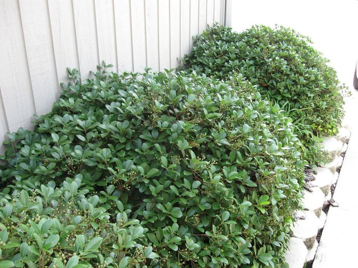 Dwarf Indian Hawthorne Front Flower Bed Outdoor Spaces
