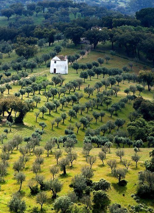 Olive trees in Alentejo, Portugal