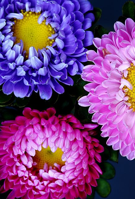 ~~Tricolore ~ China Aster by AnyMotion~~