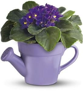 indoor flowering plant indoor flowering plantspurple