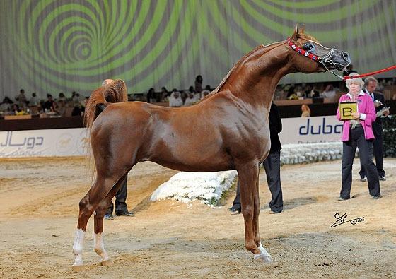 17 Best images about Arabian Horses on Pinterest | Arabian ... - photo#20