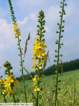 Řepík lékařský,Agrimonia eupatoria