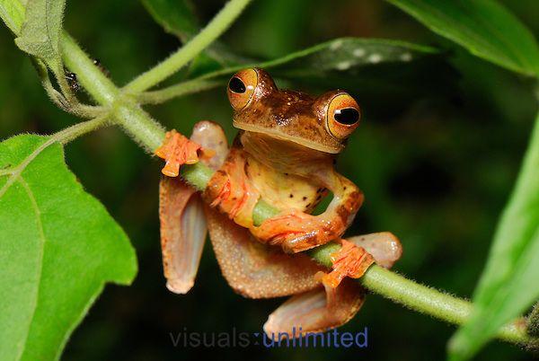 Harlequin Tree Frog (Rhacophorus pardalis), Danum Valley Conservation Area, Sabah, Borneo, Malaysia