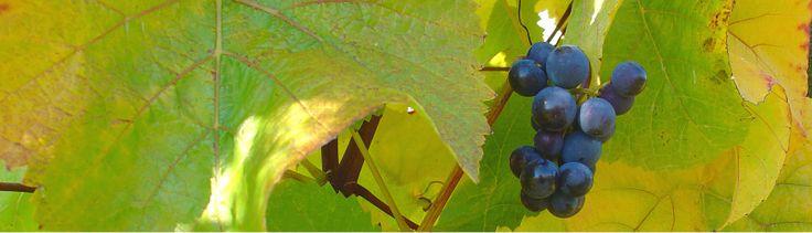 Grapes looking beautifully ripe at Blackenbrook Vineyard
