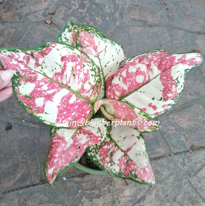 "Only ONE Aglaonema Variegated ""Splash Anyamanee 3 Color"" Super RARE +Free Phyto@"