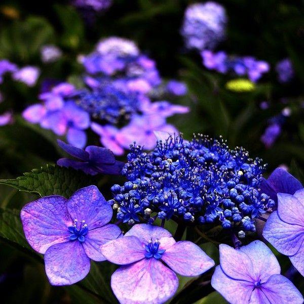 Die besten 25+ Lila hortensien Ideen auf Pinterest Lila