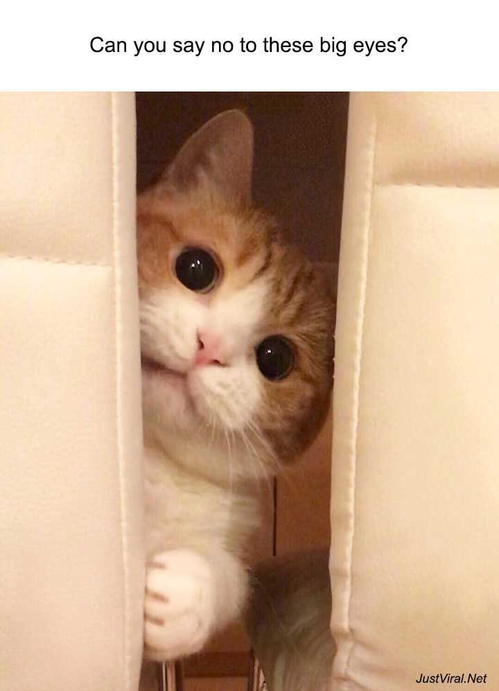 Nope No I Can T Cuteanimals Cats Catlovers Cute Animal