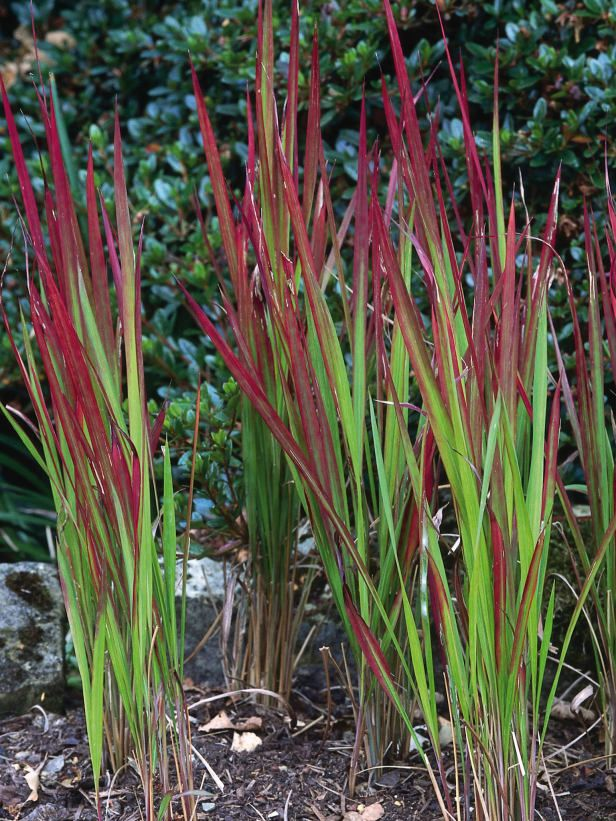 Japanese blood grass this small slow growing perennial for Red perennial grass