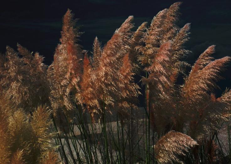 Pampas grass, La Coruña Spain.   By James Hackworthy 2012