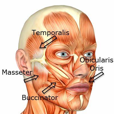 best 25+ facial muscles ideas on pinterest | facial anatomy, head, Human Body