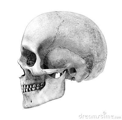 Human Skull - Side-View - Pencil Drawing Style by Linda Bucklin, via Dreamstime