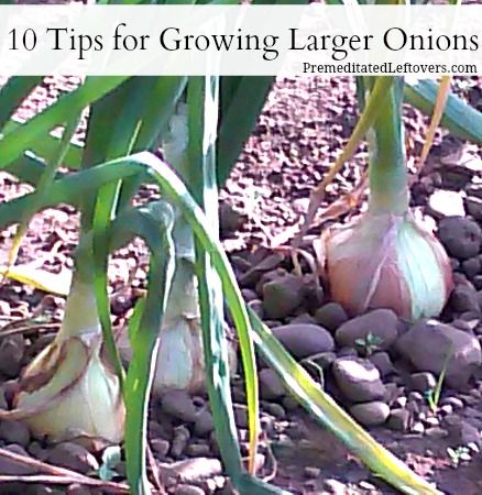 Would you like to grow large, round onions? Here are 10 tips for growing larger onions.