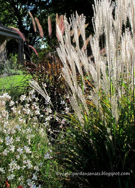 Gaura purple fountain grass pennisetum setaceum 39 rubrum for Maiden fountain grass