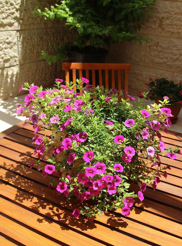 252 best images about perennial plants on pinterest flower flower plants and plants. Black Bedroom Furniture Sets. Home Design Ideas