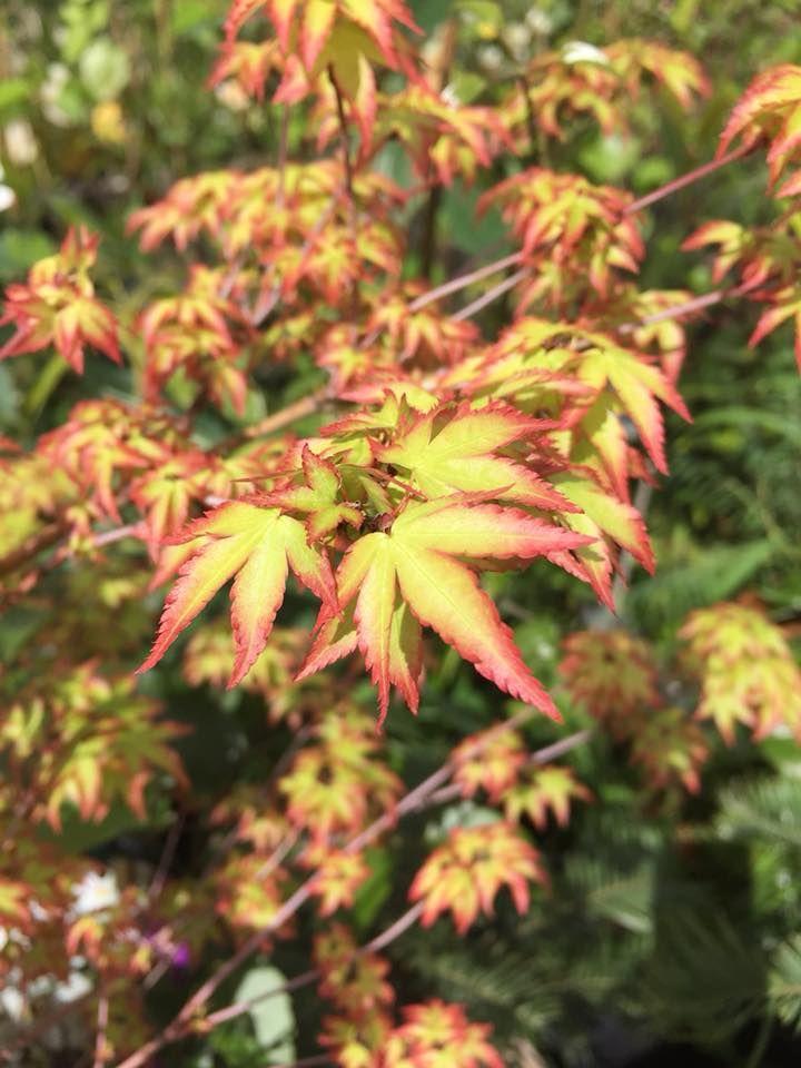 Acer Palmatum Komachi Hime A Terrific Dwarf Bush Smaller