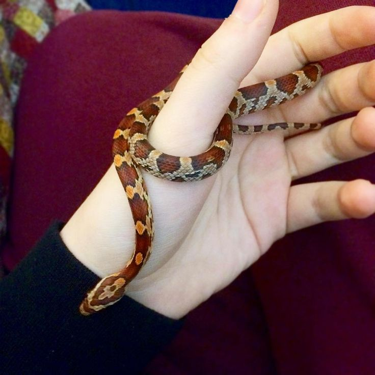 small pet snakes that don't bite