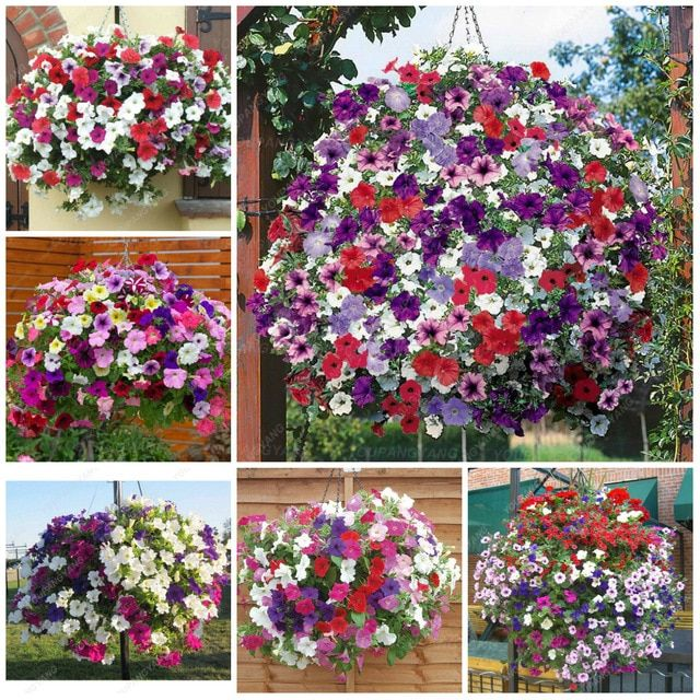 12 Kinds Hanging Petunia Plants Garden Petunia And Petunia Bonsai Flower Mixed Color 100 Pcs Lot Review Petunia Plant Bonsai Flower Flower Seedlings