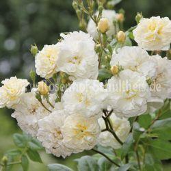Lemon Rambler - Suche - Rosen von Schultheis