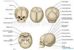 Cráneo Neonato - Fontenalas craneales: Fontanela anterior, Fontanela posterior, Fontanela esfenoidal; Fontanela anterolateral, Fontanela mastoidea