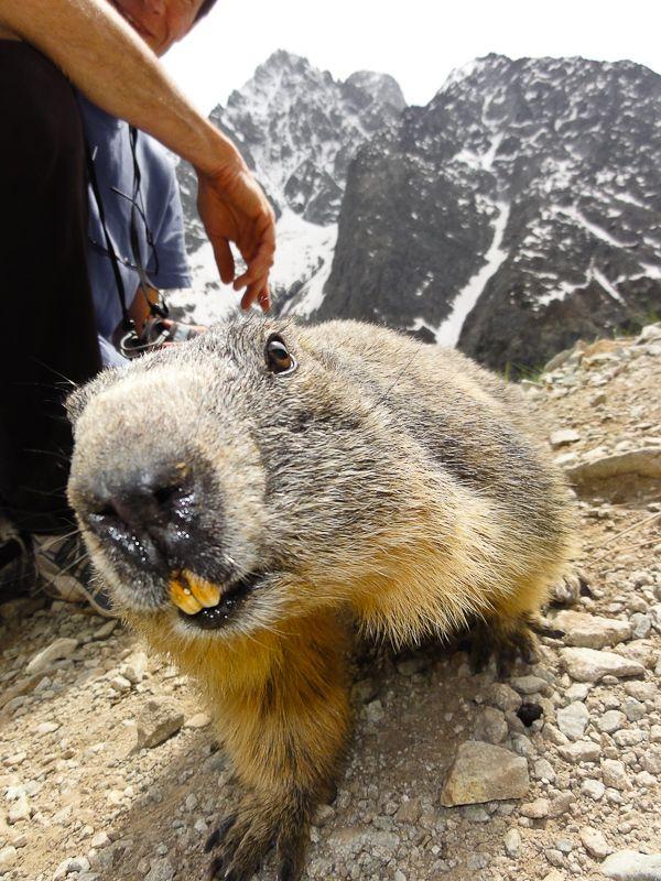 Marmotte sauvage sur l'accès au refuge