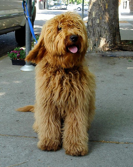 goldendoodle, shaggy, long hair