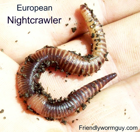 56 best worm harvesting images on pinterest worms worm farm and european nightcrawler fandeluxe PDF