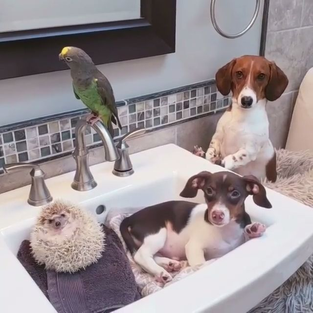 Dachshunds, parrot and Hedgehog🐶🐶🦔🐦