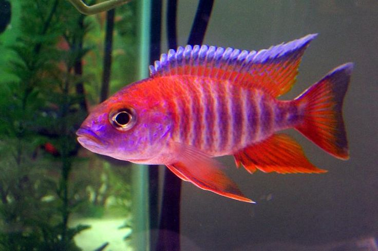 Red Peacock Cichlid - River Reef Aquatics