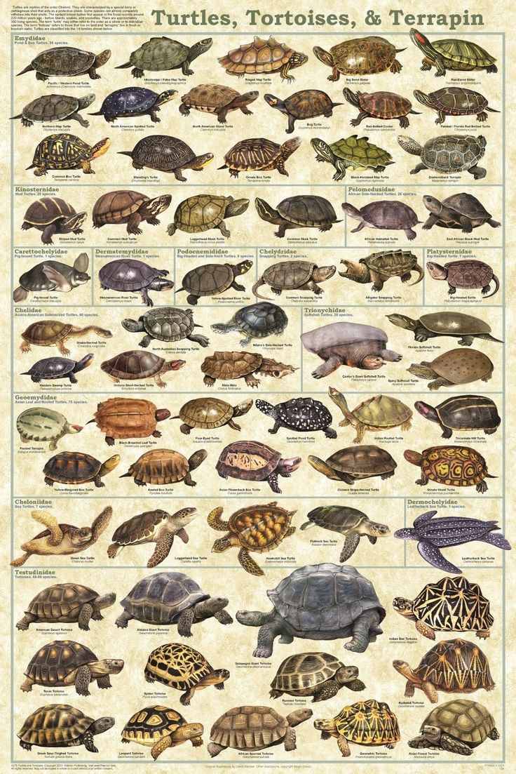 Zoology poster design - Turtles Tortoises And Terrapin Poster Reptile Poster