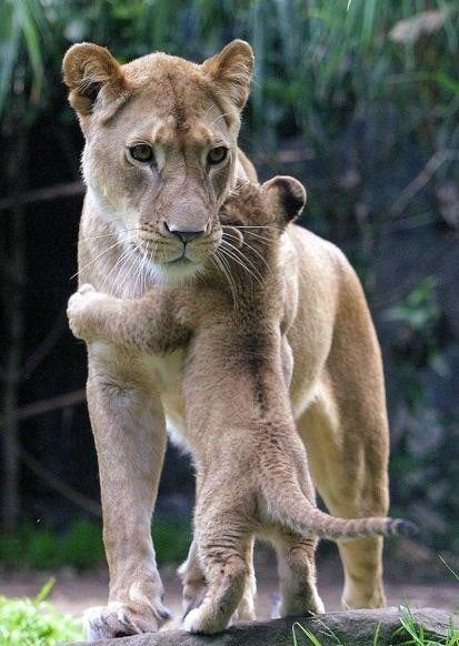 I need a hug: Big Cat, Big Hug, I Love You, Lion Love, Love You Mom, Baby Animal, Baby Lion, Need A Hug, Lion Cubs