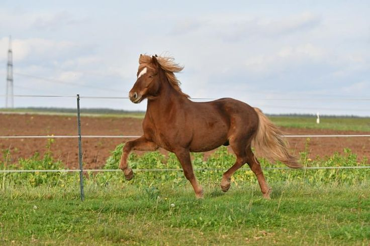 Mein-Islandpferd.de - Pferdemarkt - Islandpferde Verkauf Pferdebörse Isländer kaufen und verkaufen verkaufe Islandpony