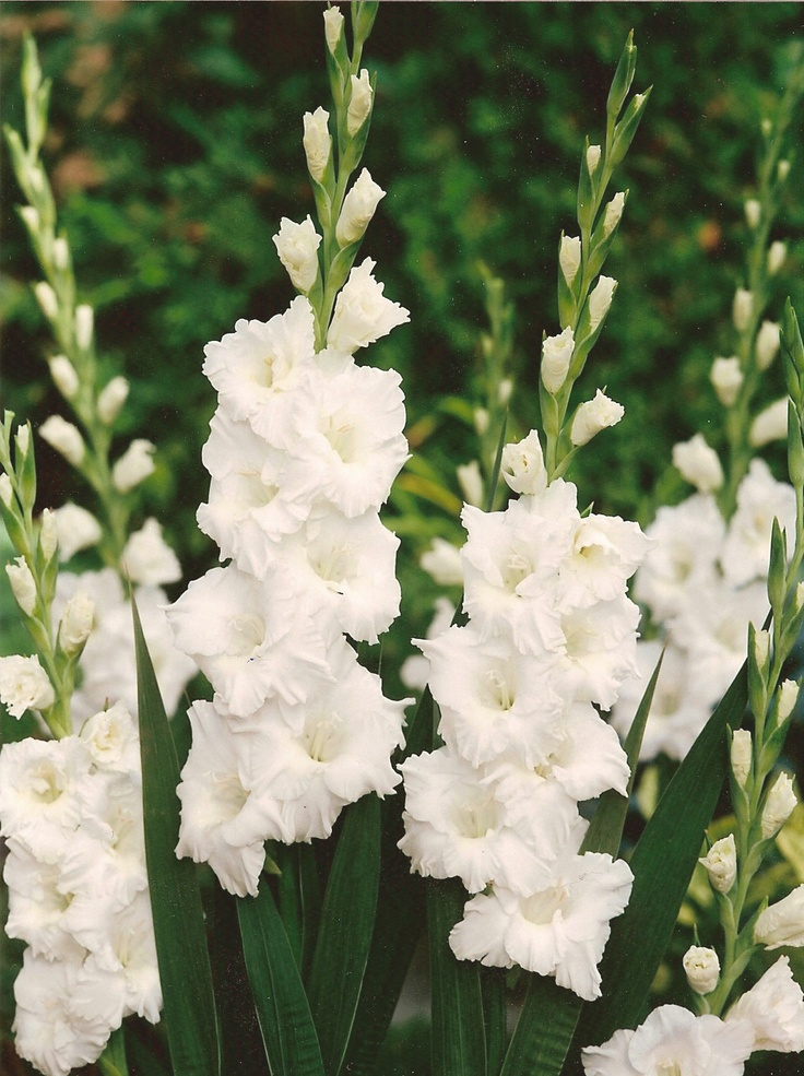 White Gladiolus Flower Birth Flowers Pinterest