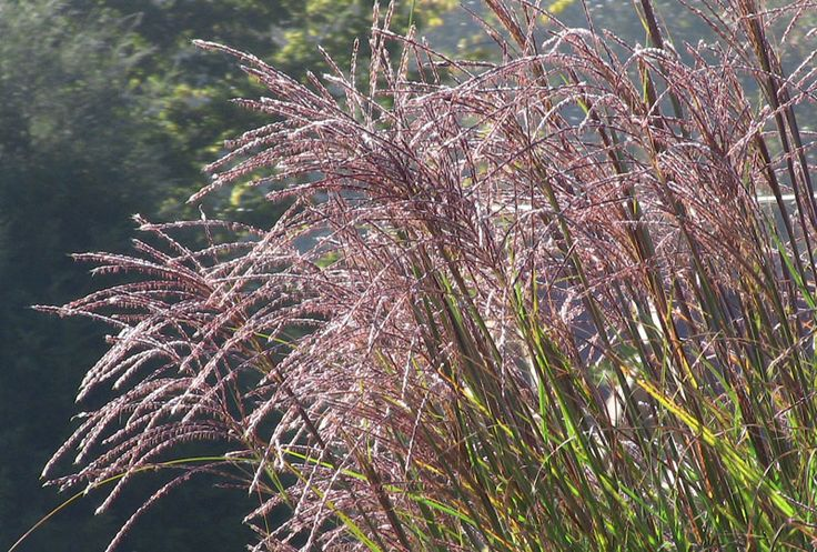 Perennial Grasses Illinois : Best images about graceful grasses on