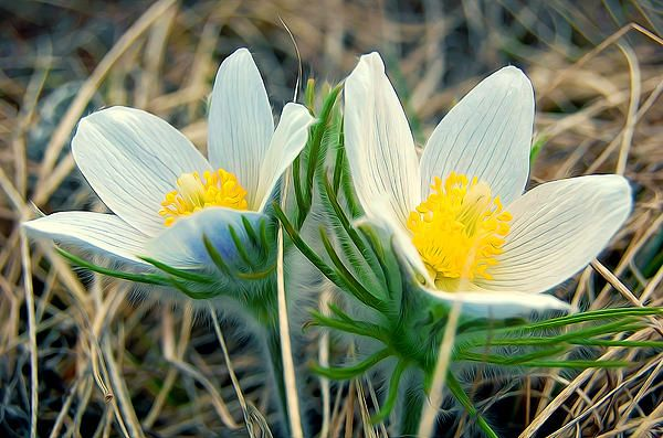 White Pasque Flower Print by Lanjee Chee