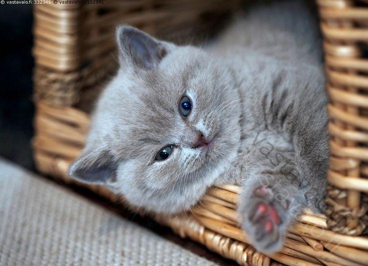 Päiväunilta herätetty - kissa kissanpentu lemmikki brittiläinen lyhytkarva pentu tassu rotukissa kotieläin