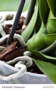 Die häufigsten Fehler bei der Orchideen-Pflege im Überblick: einpflanzen, gießen, düngen, der richtige Standort, umtopfen, schneiden ...